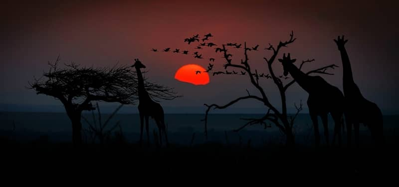 Sunset over Savannah with giraffe silhouette