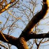 Marula Tree Branches 2 E1583220223756 100x100