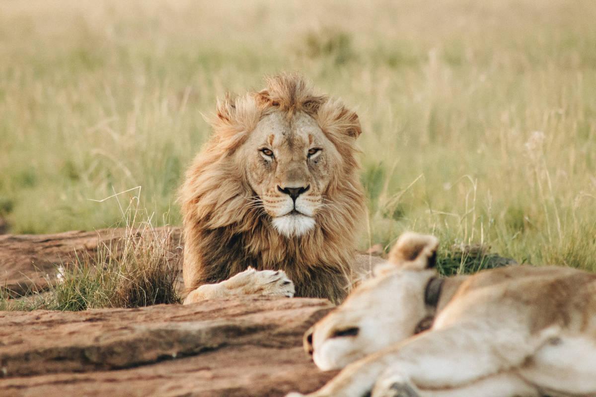 lion lying by logs in open field